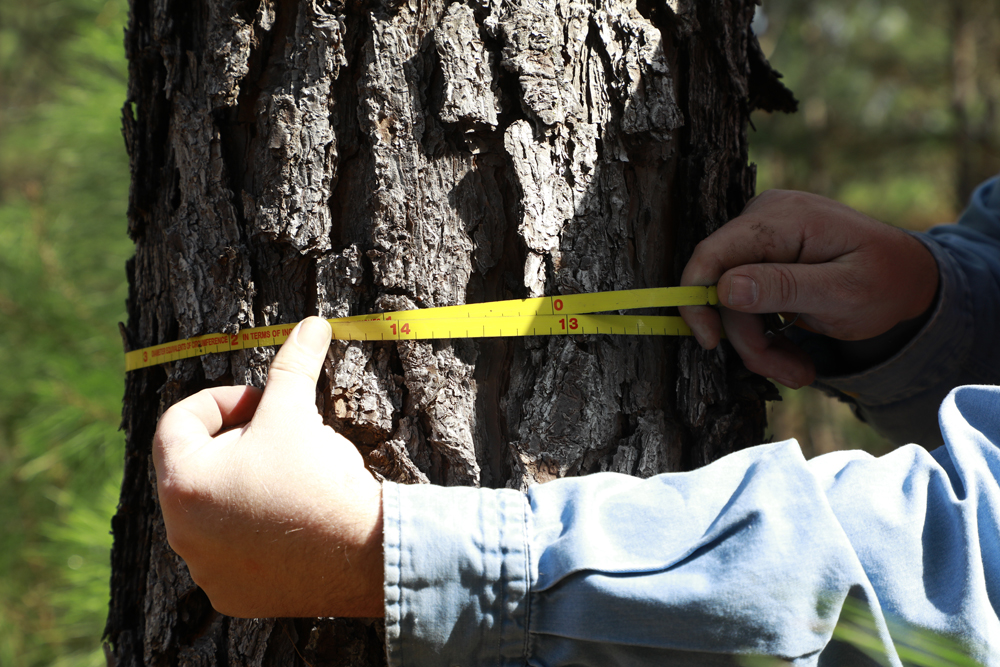 Measuring tree circumference in forestry management