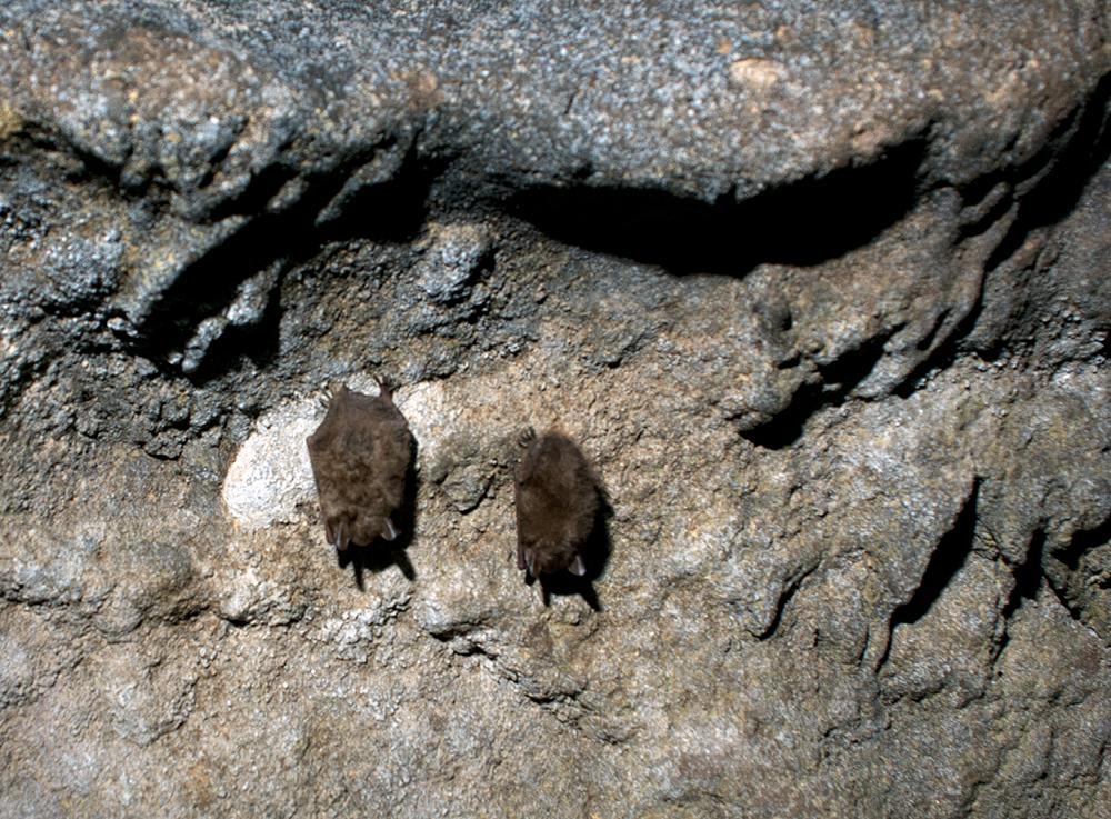 Tri-colored bats hanging in Eucutta Cave.