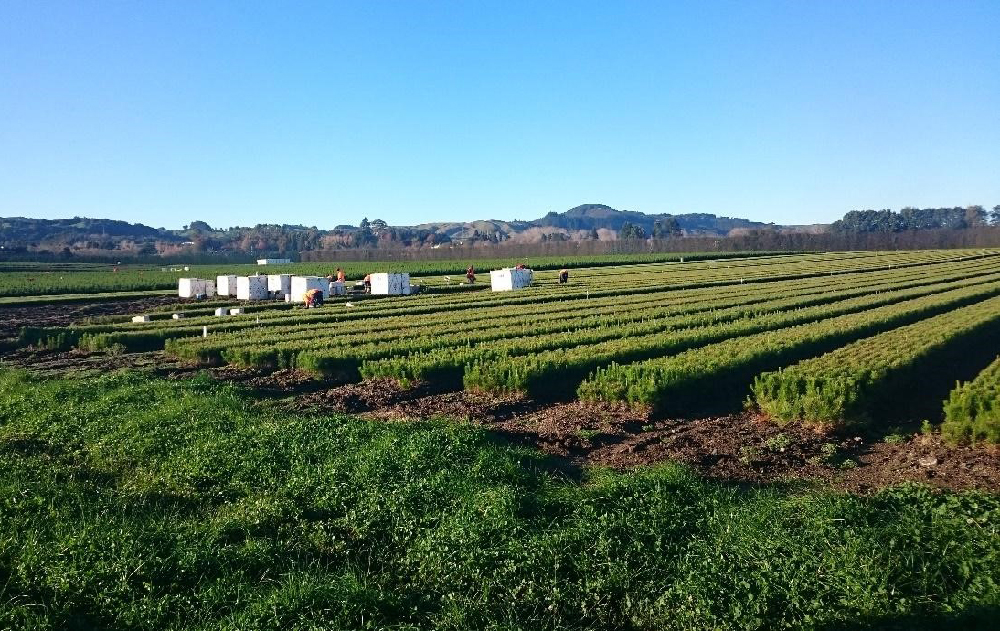 Collecting treestocks New Zealand Nursery