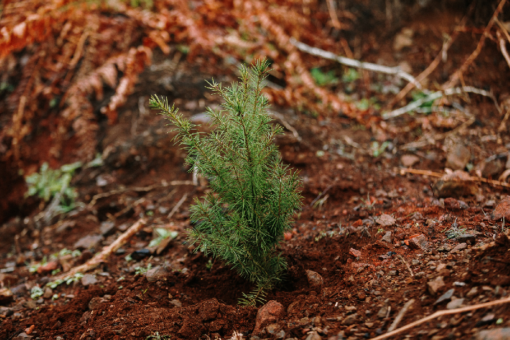 Freshly planted Douglas-fir in Washington