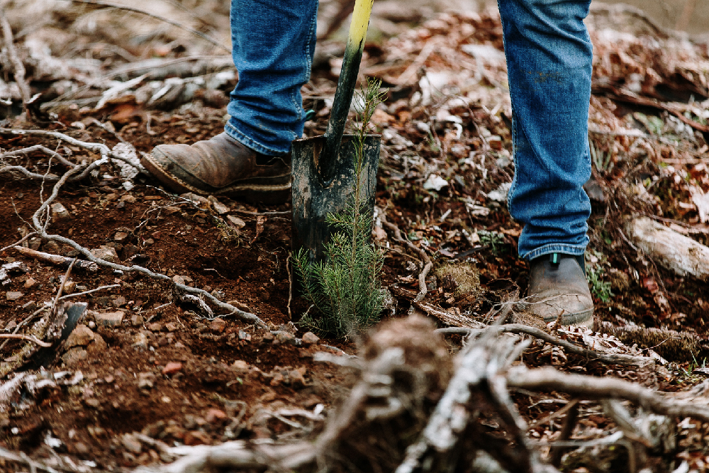 Hand-planting a Douglas-fir in Washington
