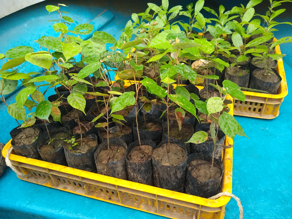 Tree seedlings to plant in Malaysia.