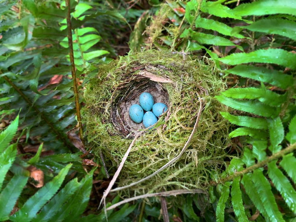 Robins Eggs and Nest in Rayonier Tree Farm Oregon