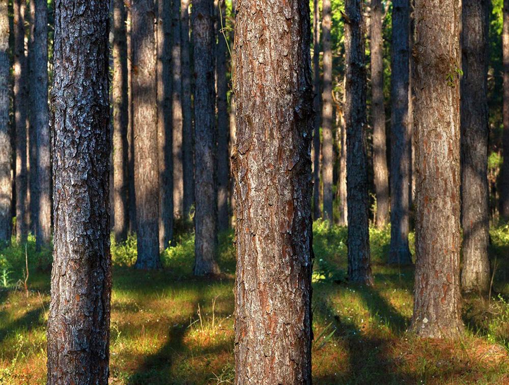 Genetic Breeding in Trees