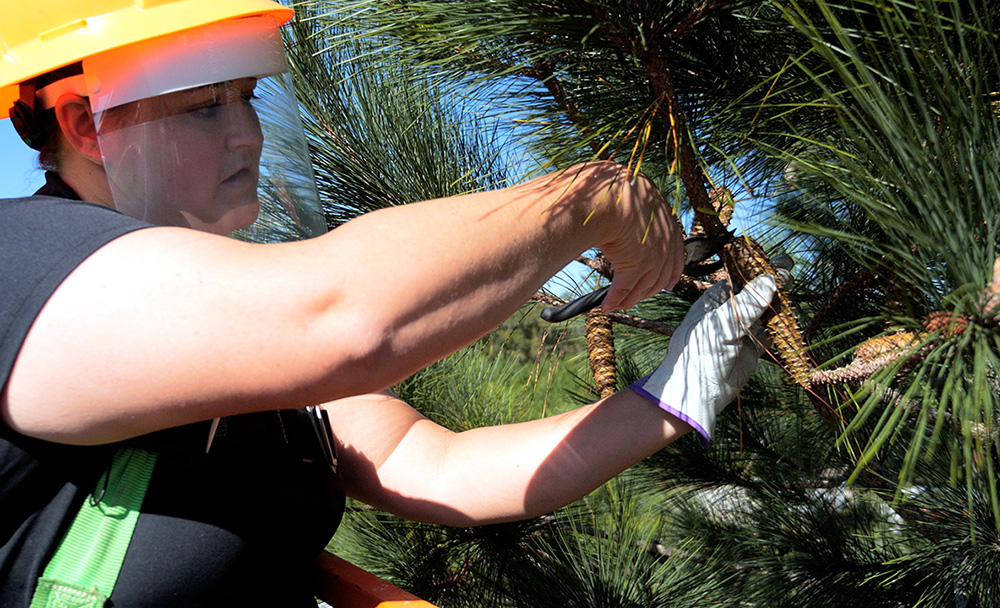 Clipping Pinecones Out of Pine Trees