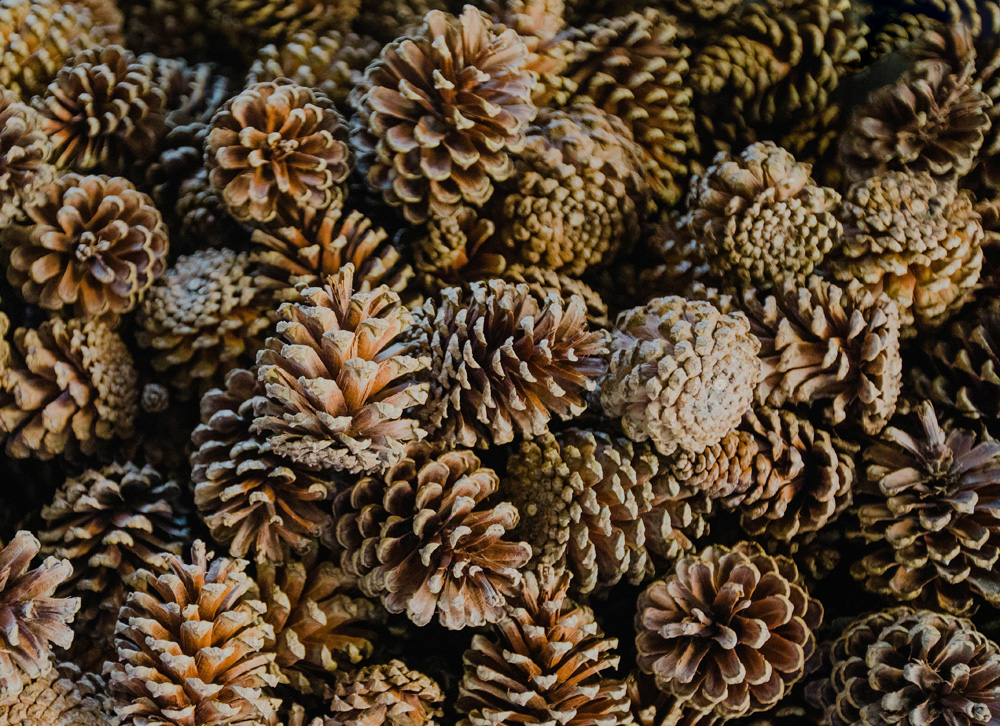 Pinecones for seed extraction