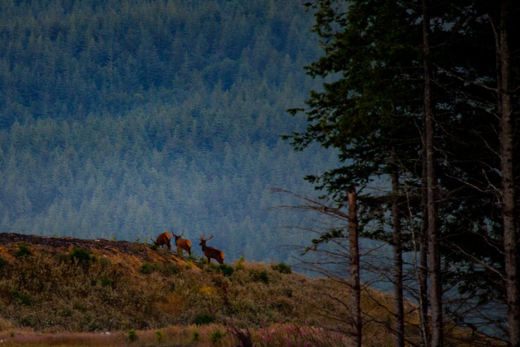 Elk Grazing Rayonier Forest