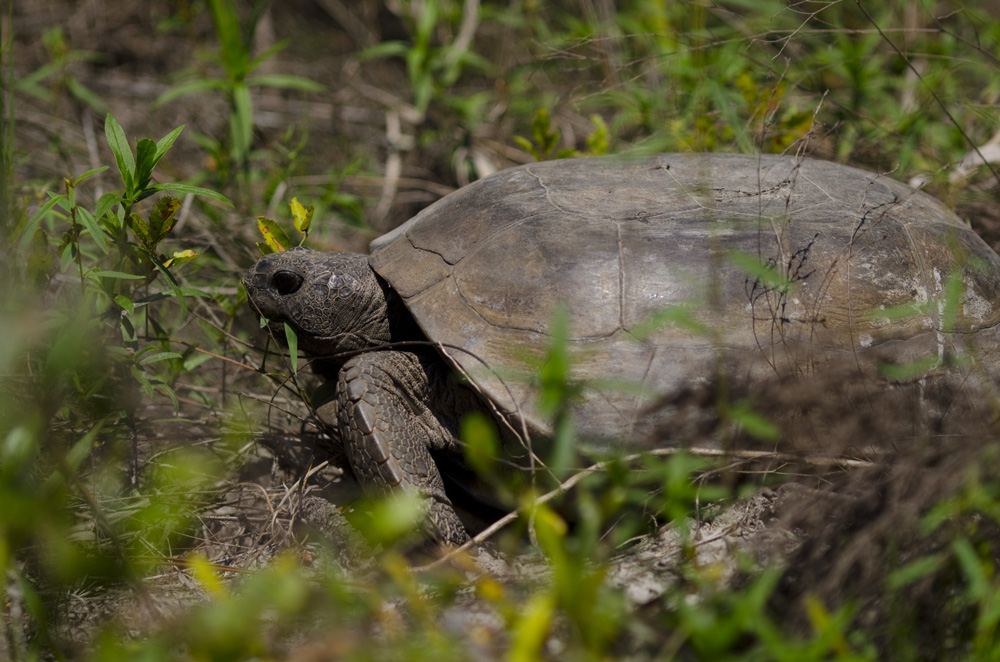 gopher tortoise eating