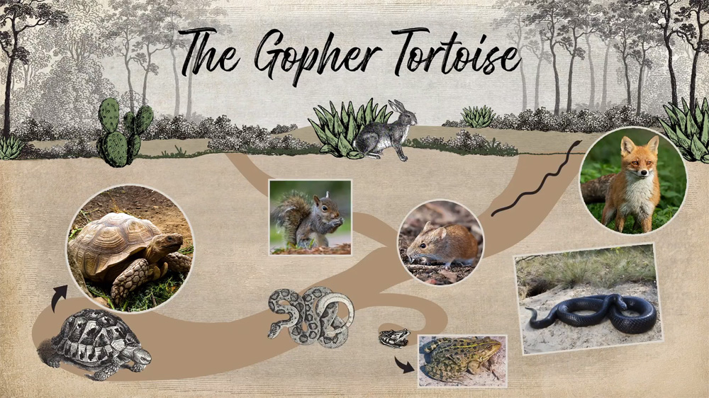 Underground gopher tortoise burrow illustration