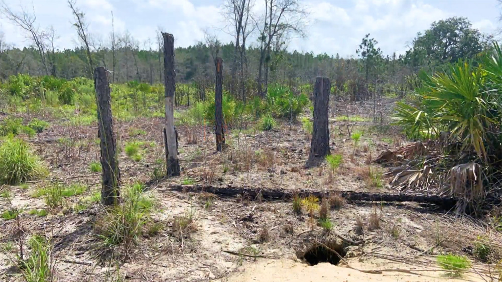 Protecting Gopher Tortoise During Logging Operations