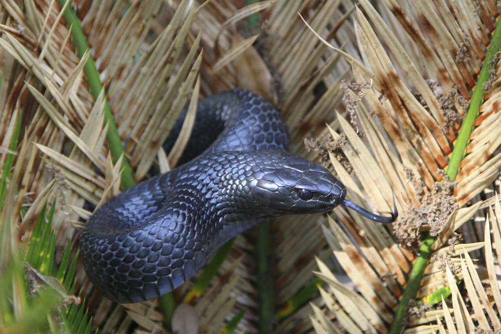 Protecting Eastern Indigo Snake on Forest Land