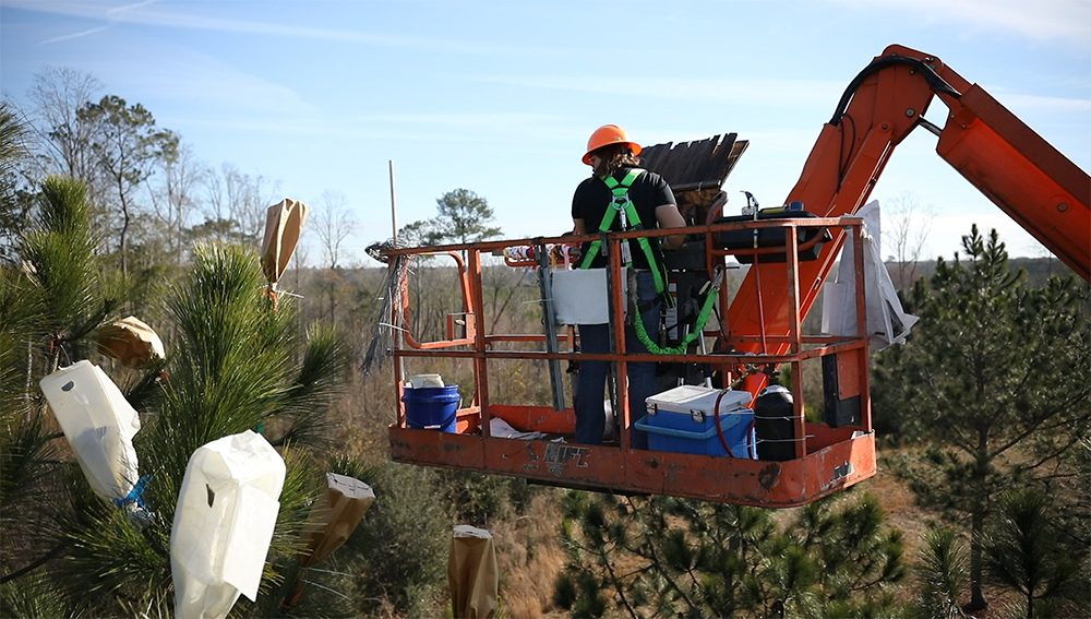 Forester in a hydraulic lift placing bags over branches with pinecones