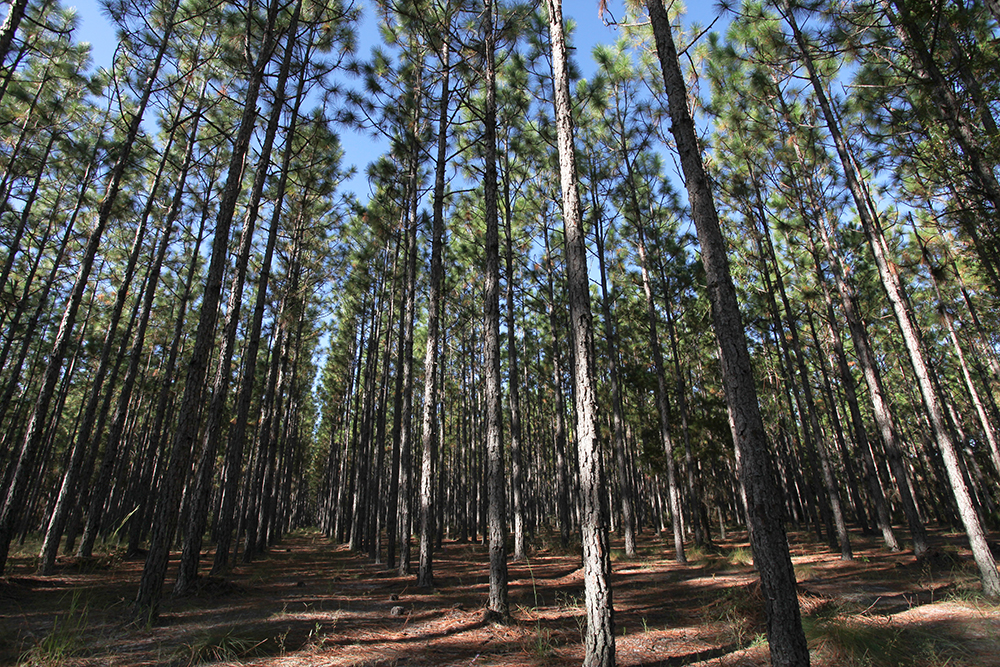 A Southern yellow pine forest of straight trees with few branches apart from the tops