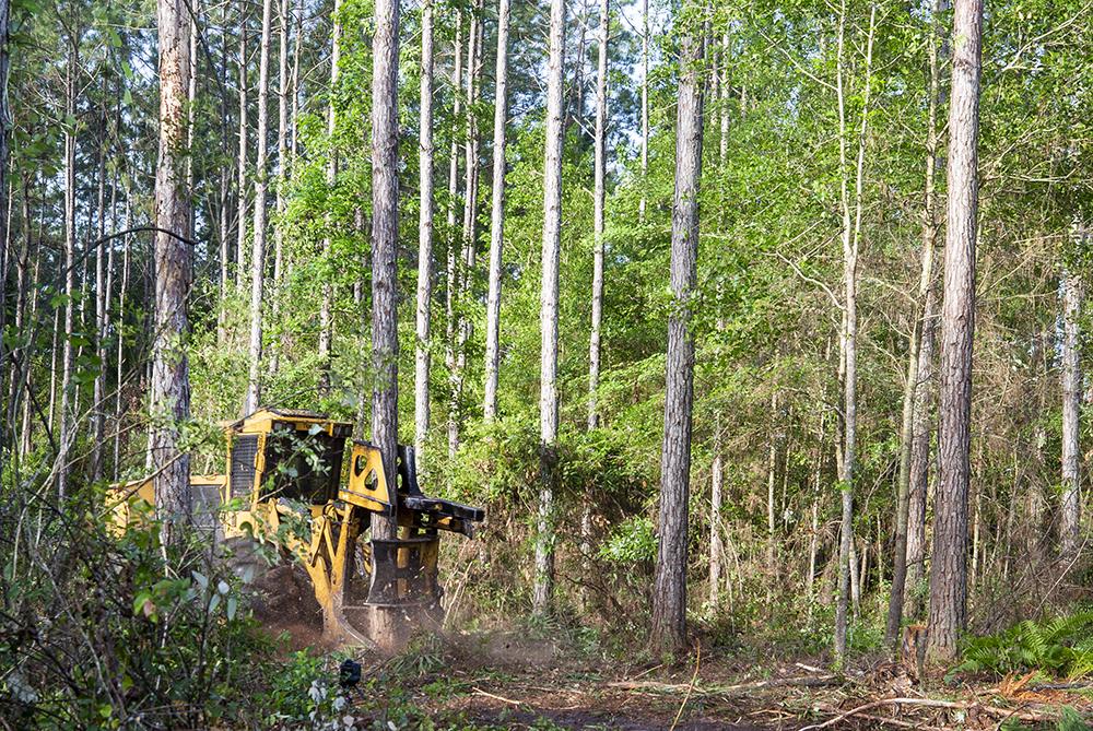 A feller buncher cuts a pine tree